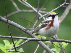 Hestnut-sided Warbler - Koochiching county