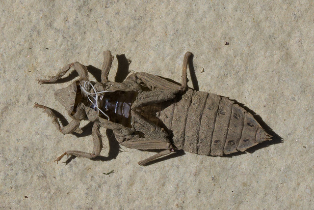 Common Clubtail - Gomphus vulgatissimus exuvia
