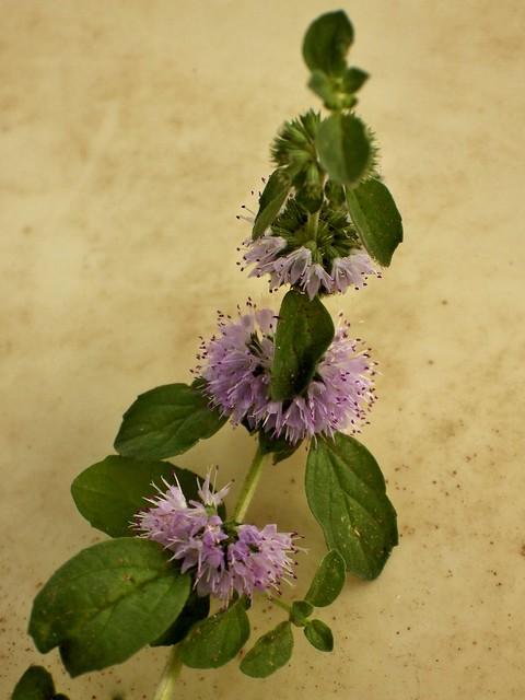 Poliol (Mentha Pulegium) / Pennyroyal Mint