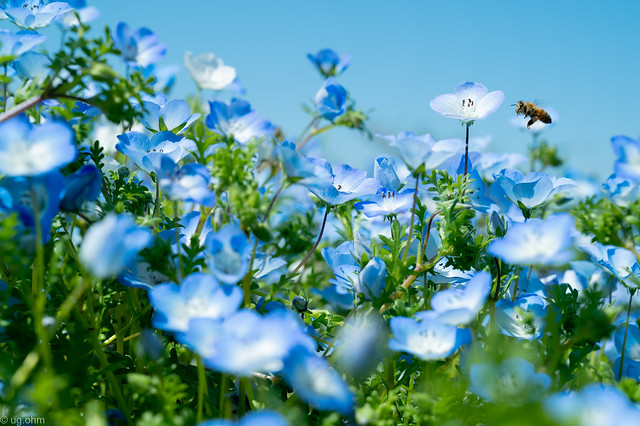 ネモフィラとミツバチ