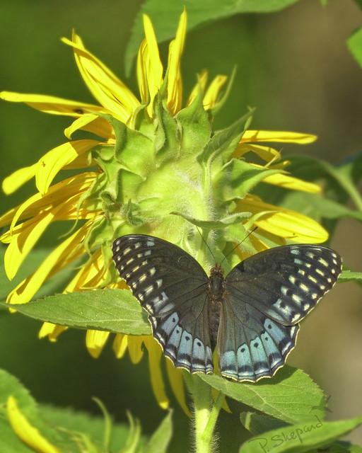 Arkansas butterfly  6-18-21_089