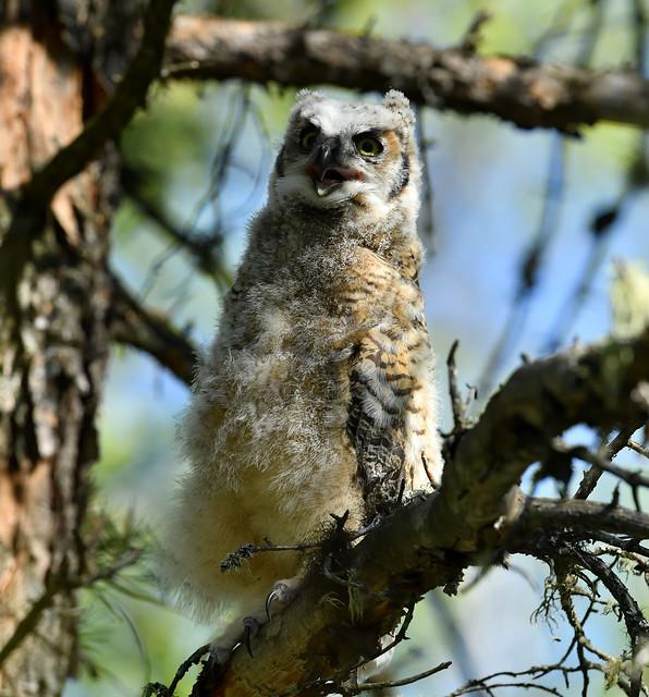 Grand Duc d'Amérique juvénile - Great Horned Owl