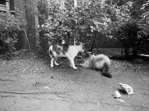 7e5_6193772-cat-fight-3-4
