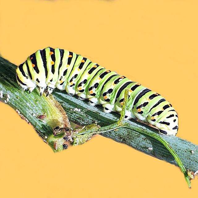 Beautiful larva