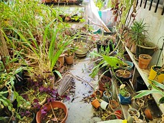 Trying to tackle clean up our backyard patio this weekend. Neglect and raccoons! Argh!... There are a bunch of dead plants to get rid of and lot of plants to repot. I think this will take a couple weekends to clean up. #patio #backyard #orchid #cymbidium