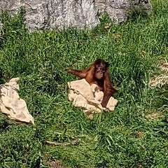 """Had a wonderful time at Chester zoo Adorable baby orang Iran had been sleeping Head covered with the canvas Woke up to see a crowd of humans watching and their family moved off to another part of the enclosure The """"what?"""" expression was such a reminder of"""