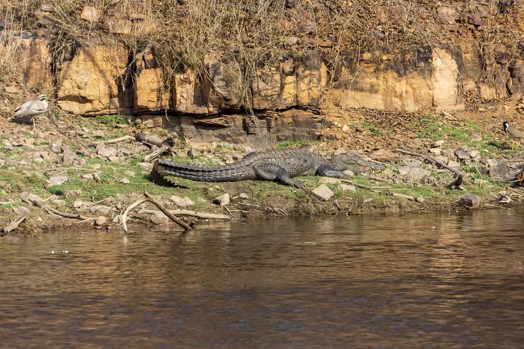 Mugger Crocodile (Crocodylus palustris)_1232