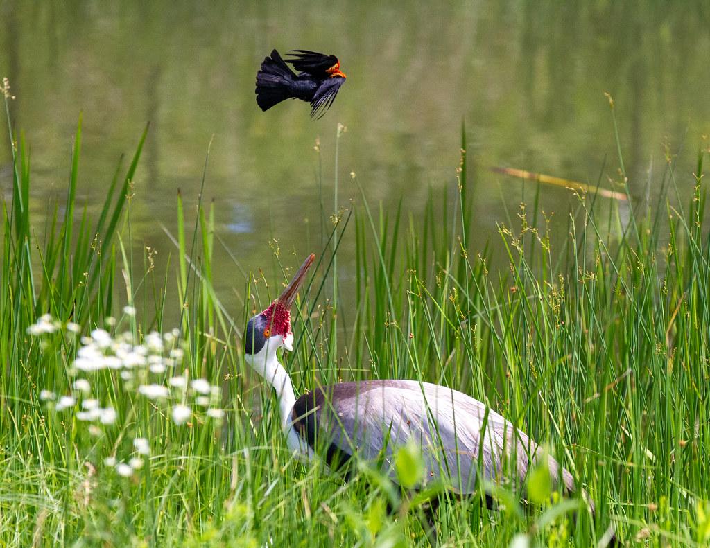 Wattled Crane Under Attack