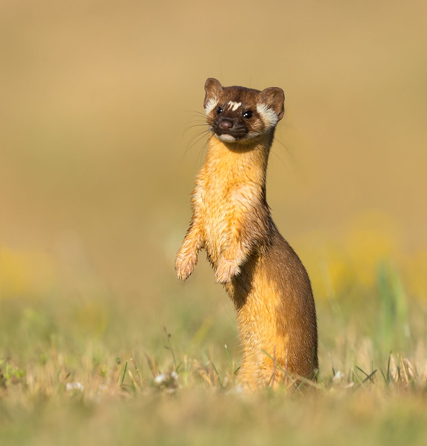 Long-tailed weasel (X14_4785)