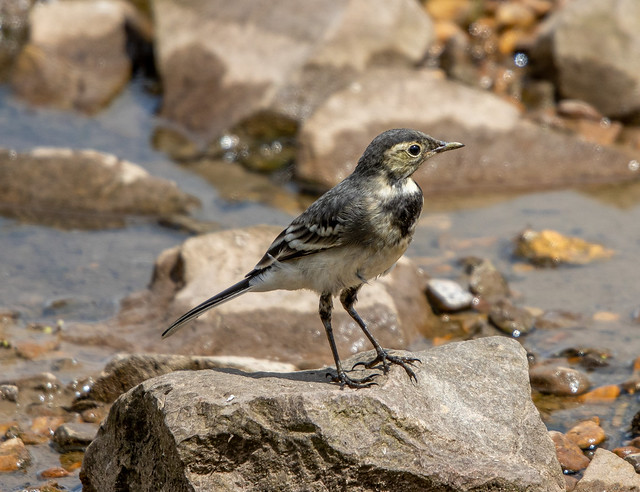 Young Pied Wagtail