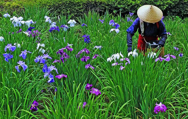 iris: rainy season