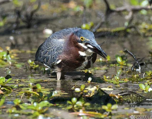 green heron with lunch