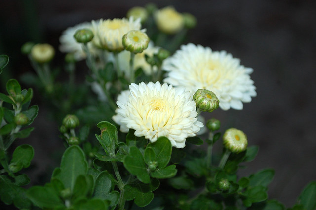 White Mum Buds And Blossoms.