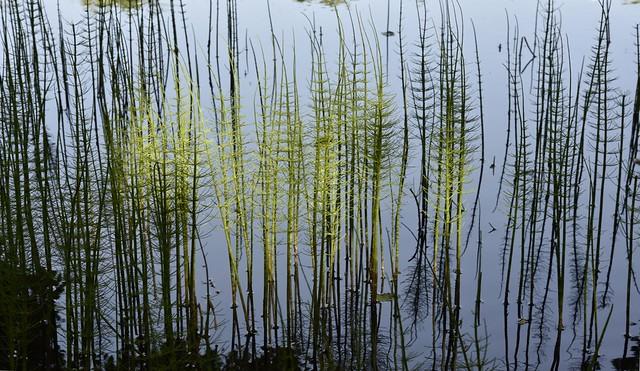 Teich-Schachtelhalm (Equisetum fluviatile); Bergenhusen, Stapelholm (11)