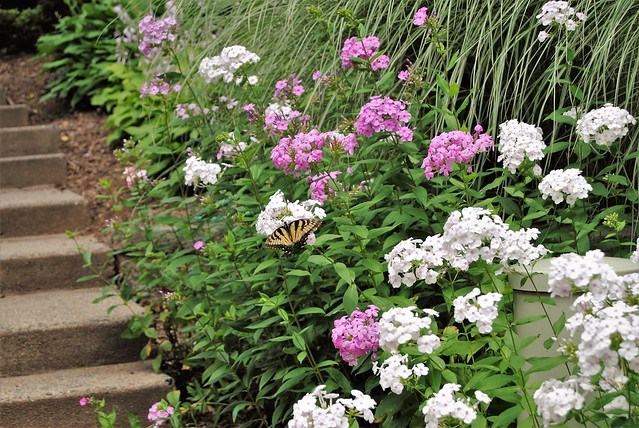 Swallowtail Butterfly on white phlox