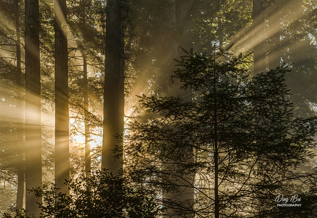 _DSC_4604_Oregon Redwoods at Sunrise