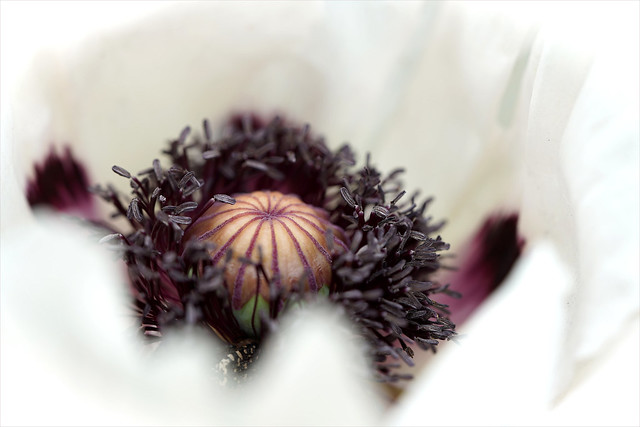 a bed of white petals (Papaver orientale)