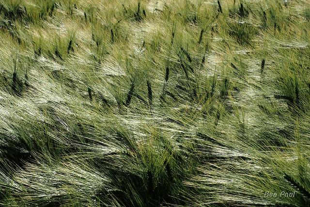 Ben Paul F1058 grain field 2021
