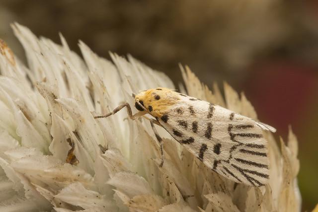 _Z2A9056 Ammatho pluma lichen moth