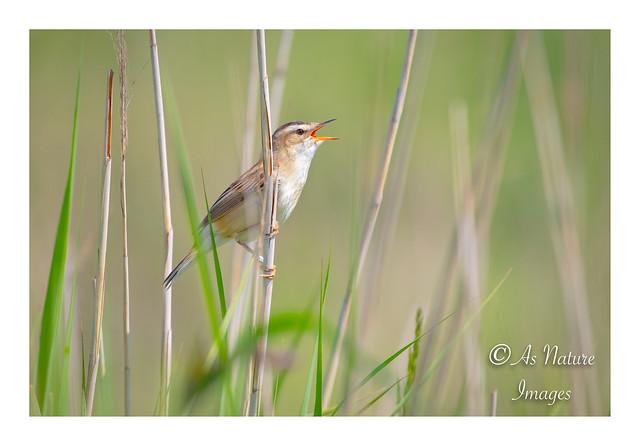 Male Sedge Warbler Singing