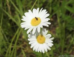 Ox-eye Daisy, Hinkley Brook Rd, Grafton, VT