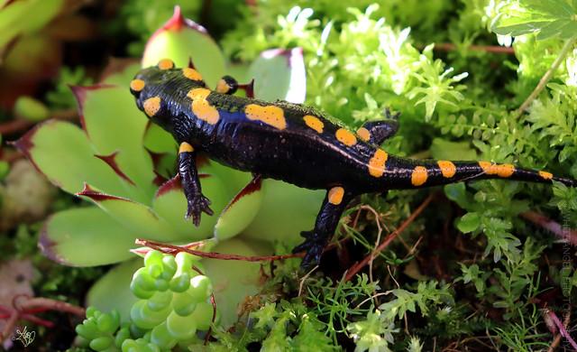 Salamander in my garden. Macro ph. by #WhiteANGEL