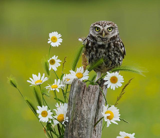 Little Owl,UK.