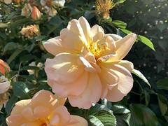Hedgerow rose