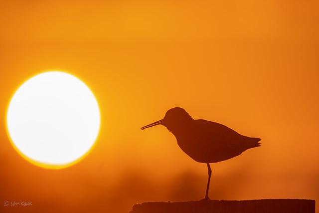 Tureluur / Common Redshank