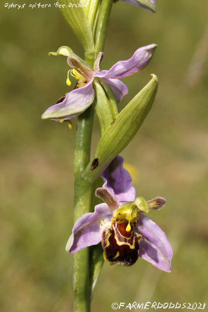 Ophrys apifera 'Bee Orchid'