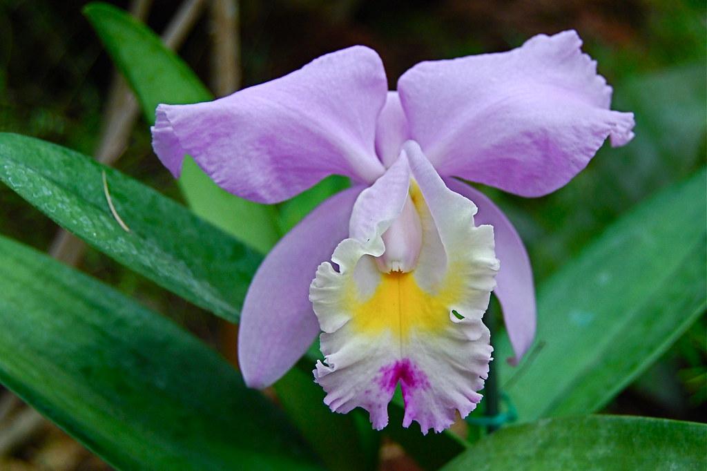 Laeliocattleya  hybride
