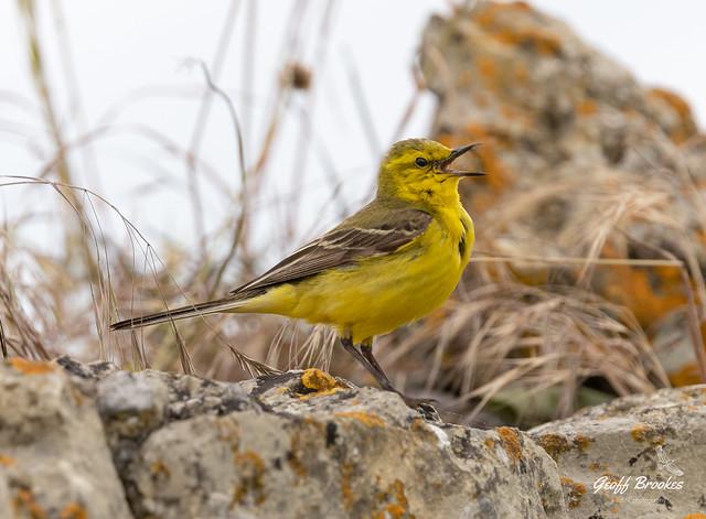Yellow Wagtail singing