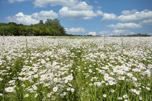 Endless daisies