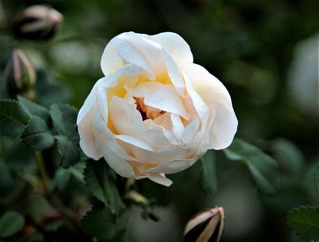 Midsummer Rose