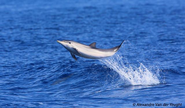 Dauphin bleu et blanc - Striped dolphin  (Stenella ceoruleoalba)