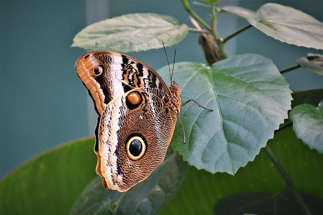 DSC_2000 - Butterfly Creek, Auckland.  Owl Butterfly.