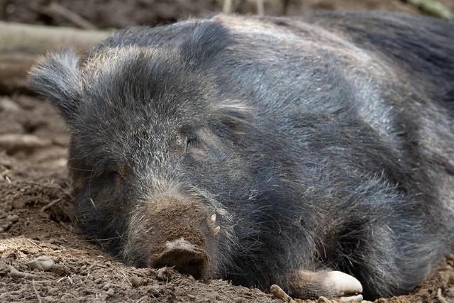 piggy heaven - Wild Boar (Sus scrofa)