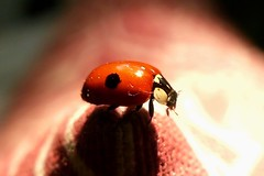 Maria Nyckelpiga - Ladybug