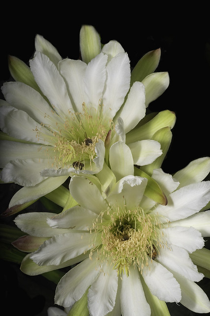 Night Bloming Cactus Flowers With Honey Bees 648