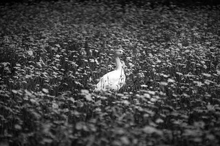 Free duck in free daisies field