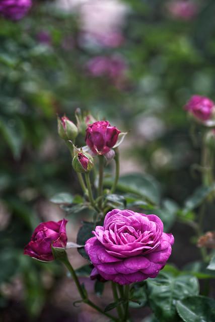 Rose 85