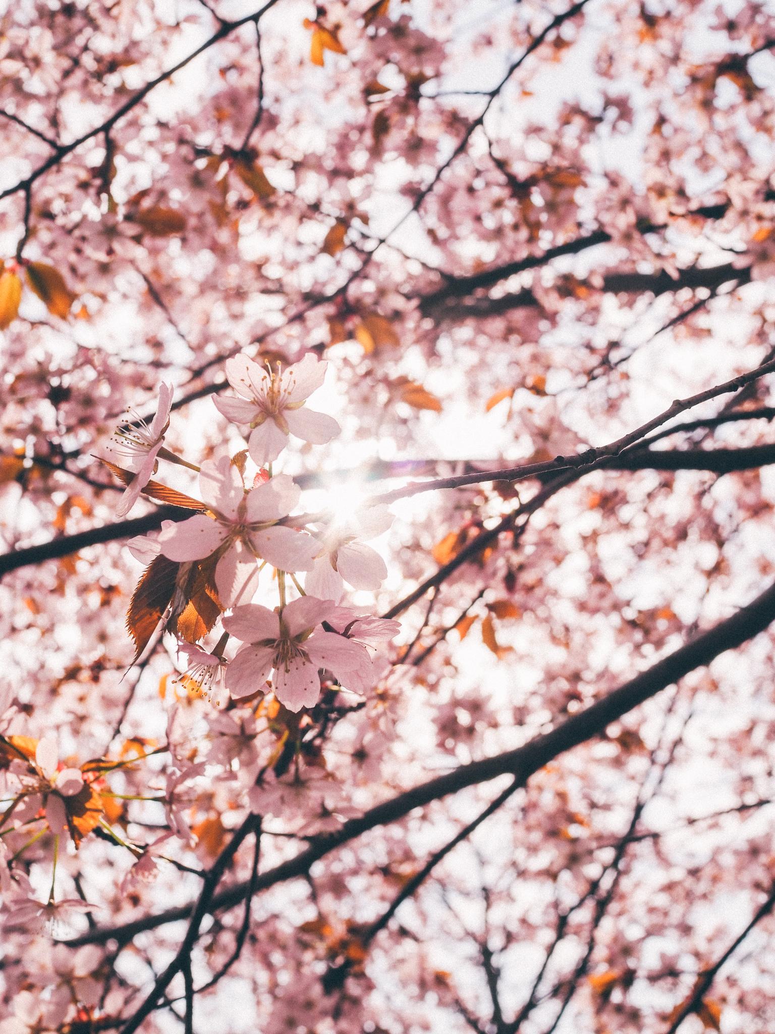 kirsikankukka4