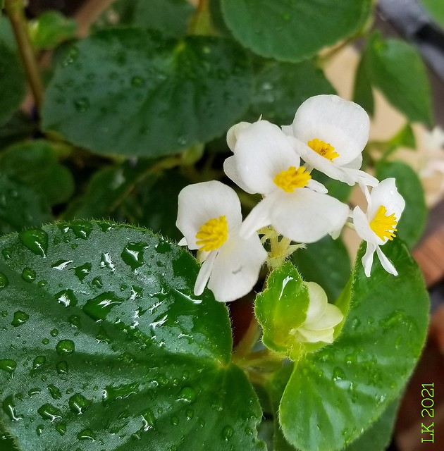 white begonias after a rain......2021-06-20