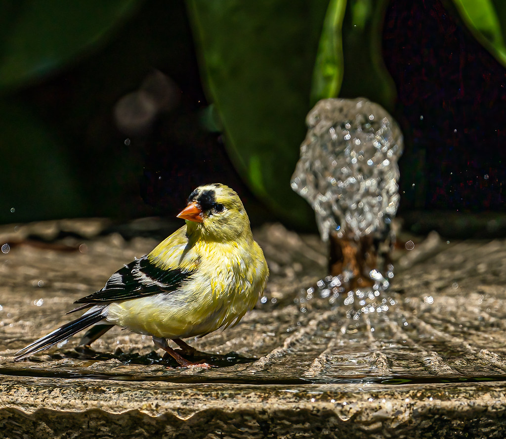 looks like a American goldfinch starting to molt.
