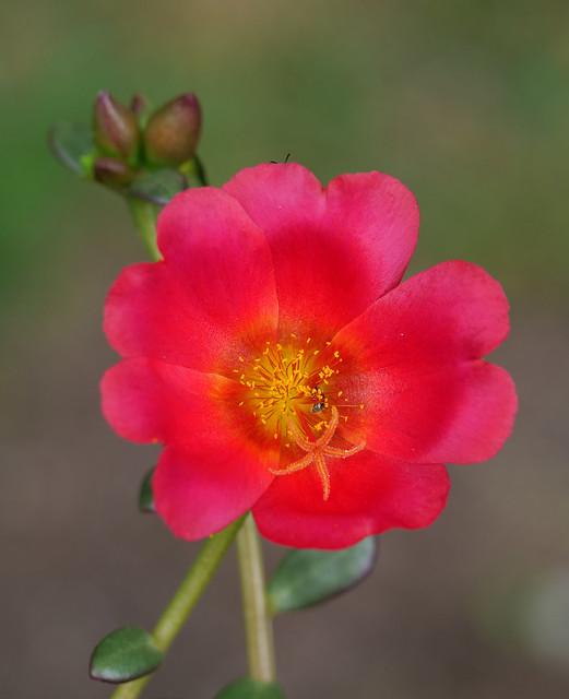 moss rose 2