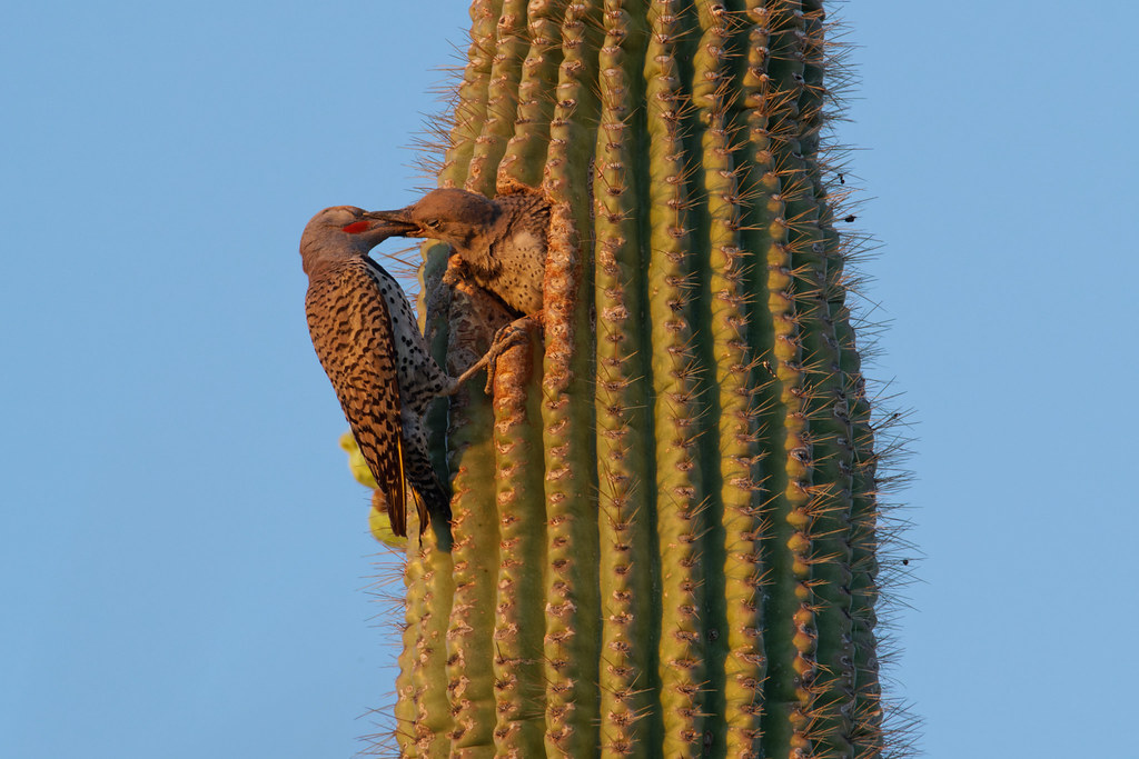 A male gilded flicker regurgitates food into the mouth of a hungry nestling shortly before sunset at George Doc Cavalliere Park in Scottsdale, Arizona on May 30, 2021. Original: _RAC2058.arw