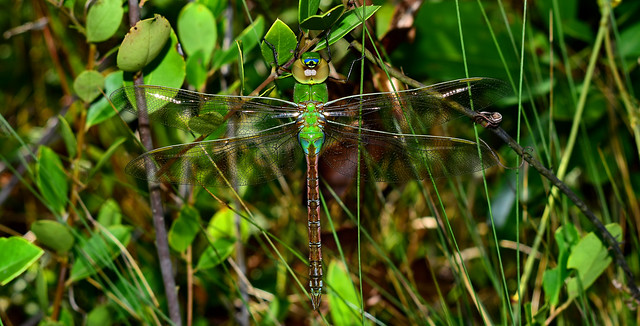 The Green of Summer~ Green Darner Dragonfly (Anax junius)