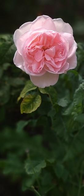Pink Rose at Gainford