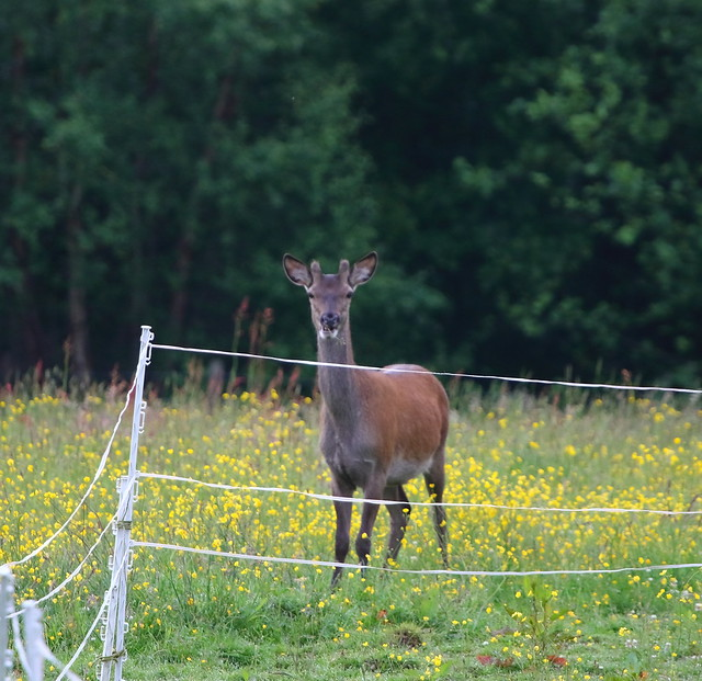 Young Red Deer Stag checking out the ponies