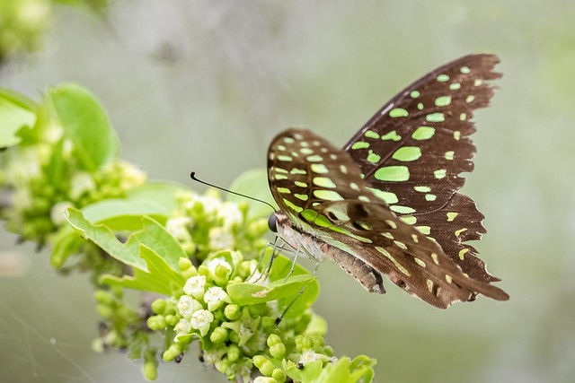 A Tailed Jay Butterfly in a beautiful setting
